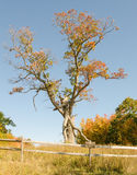 The Great Oak at Landis Arboretum Stock Photo