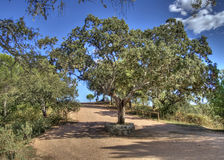 Great oak in the middle of a truck Royalty Free Stock Photo