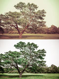 Great old Oak tree  in green vintage and grunge style set Stock Images