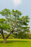 Great old Oak tree in Harsh daylight Royalty Free Stock Photo