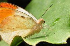 Great Orange Tip Butterfly Stock Photos