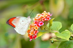 Great Orange Tip Butterfly. The orange tip butterfly,aka,Hebomoia glaucippe,finds a nectar filled flower in the garden royalty free stock photos