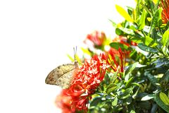Great orange tip butterfly  Anthocharis cardamines   resting o. N red flower in garden Stock Photos