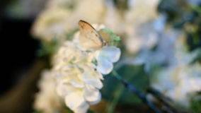 Great orange tip butterfly on flower. Great orange tip butterfly sucking nectar on flower stock video