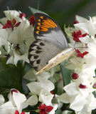 Great Orange Tip Butterfly and flowers Stock Image