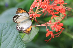 Great Orange Tip butterfly and flowers stock photography