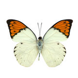 Great Orange Tip butterfly isolated on white Stock Image