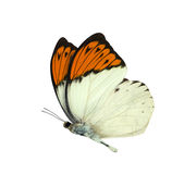 Great Orange Tip butterfly isolated on white Royalty Free Stock Photo