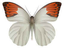 Great orange tip butterfly isolated on a white Stock Photos
