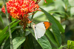 Great Orange Tip butterfly on Ixora flowers royalty free stock images