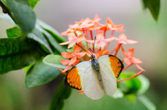 Great Orange Tip Royalty Free Stock Photography