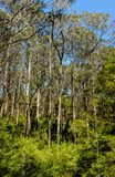 Great Otway National Park. Otway fly tree top walk. Walk among the tops of trees in the Australian forest, near the town of Apollo Bay which is located on the royalty free stock photos