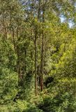 Great Otway National Park. Otway fly tree top walk. Walk among the tops of trees in the Australian forest, near the town of Apollo Bay which is located on the stock photography