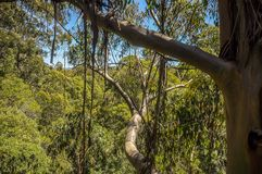 Great Otway National Park. Otway fly tree top walk. Walk among the tops of trees in the Australian forest, near the town of Apollo Bay which is located on the royalty free stock photography