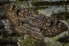 Great owl moth. Yespots are the eye-like markings on the wings of some butterflies and moths, like this great owl moth. They are believed to serve the purpose of stock photography