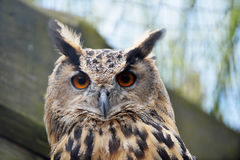 Great owl Stock Images