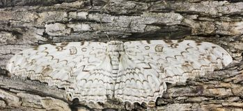 A Great Owlet Moth Waits Motionless on Bark Royalty Free Stock Image