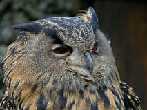 Great Owls face portrait. Winking owl.Owl eye Royalty Free Stock Photography