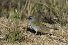 Great pampa-finch, Embernagra platensis Stock Photos