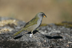 Great pampa-finch, Embernagra platensis Royalty Free Stock Image