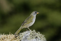 Great pampa-finch, Embernagra platensis Stock Photography
