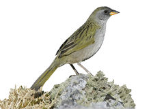 Great pampa-finch, Embernagra platensis Royalty Free Stock Images