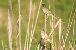Great Pampa finch , Verdón Stock Photography