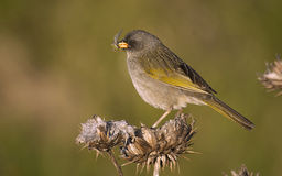 Great Pampa finch , Verdón Royalty Free Stock Images
