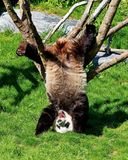 Great Panda Ailuropoda melanoleuca is a bamboo bear, one of the rarest animals listed in the international Red book. Dream about the delicious food. Acrobat stock images