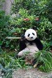 Great Panda Jia Jia at River Safari Singapore. Great Panda Jia Jia feasting on bamboo shoots at River Safari Singapore royalty free stock images