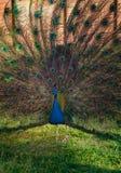 Great peacock with feathers out. Pavo Cristatus. Sasali, Izmir, Turkey royalty free stock photo