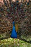 Great peacock with feathers out. Pavo Cristatus. Sasali, Izmir, Turkey stock photo