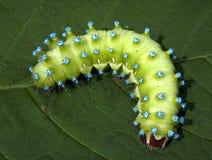 Great peacock moth caterpillar / Saturnia pyri. A great peacock moth caterpillar on a green leaf Stock Photos