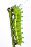Great peacock moth caterpillar / Saturnia pyri Stock Images