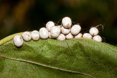 Great peacock moth eggs / Saturnia pyri Stock Images