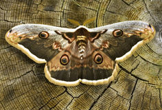 Great peacock moth  / Saturnia pyri Royalty Free Stock Photo