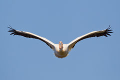 Great Pelican Royalty Free Stock Images