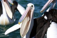 Great pelican Stock Images