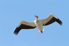 Great pelican closeup, in flight Stock Photos
