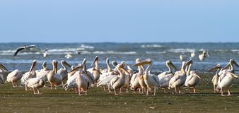 Great pelican colony at Meleaua stock image