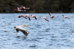 Great Pelican and Flamingos Royalty Free Stock Image
