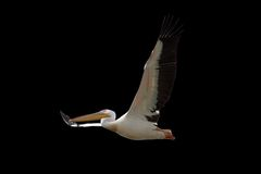 Great pelican in flight over dark background Stock Image