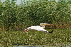 Great pelican in flight over marshes Stock Images