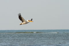 Great pelican in flight over sea Stock Photo