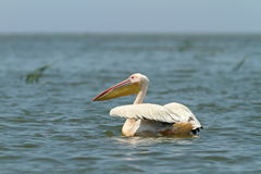 Great pelican floating on blue water Royalty Free Stock Image