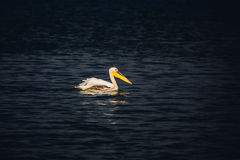 Great pelican floating in the dark water Royalty Free Stock Image
