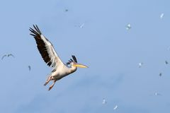 Great pelican flying over the sky Stock Image