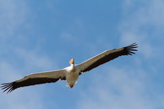 Great pelican flying towards the camera Royalty Free Stock Image