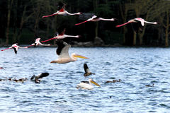 Great Pelican Flying With Flamingos Royalty Free Stock Photos
