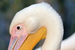 Great pelican head detail Royalty Free Stock Images